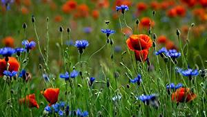 Фото Маки Васильки Луга цветок