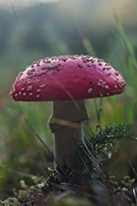 Фото Грибы природа Вблизи Мухомор Природа