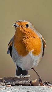 Фотография Птицы Размытый фон erithacus rubecula Животные
