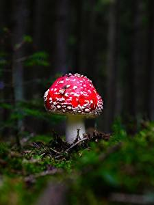 Фото Грибы природа Мухомор Размытый фон Мох Природа
