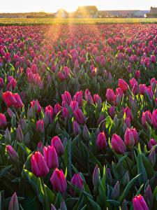 Обои Поля Тюльпаны Много цветок