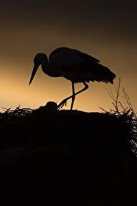 Картинки Аисты Птицы Гнезда Силуэты животное