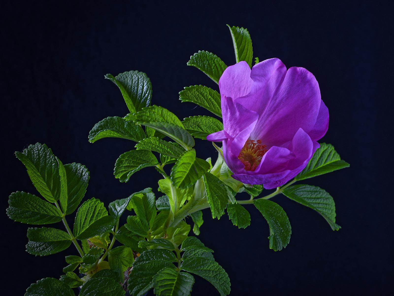 Обои для рабочего стола Листья роза фиолетовых цветок ветка Черный фон 1600x1200 лист Листва Розы Фиолетовый фиолетовая фиолетовые Цветы ветвь Ветки на ветке на черном фоне