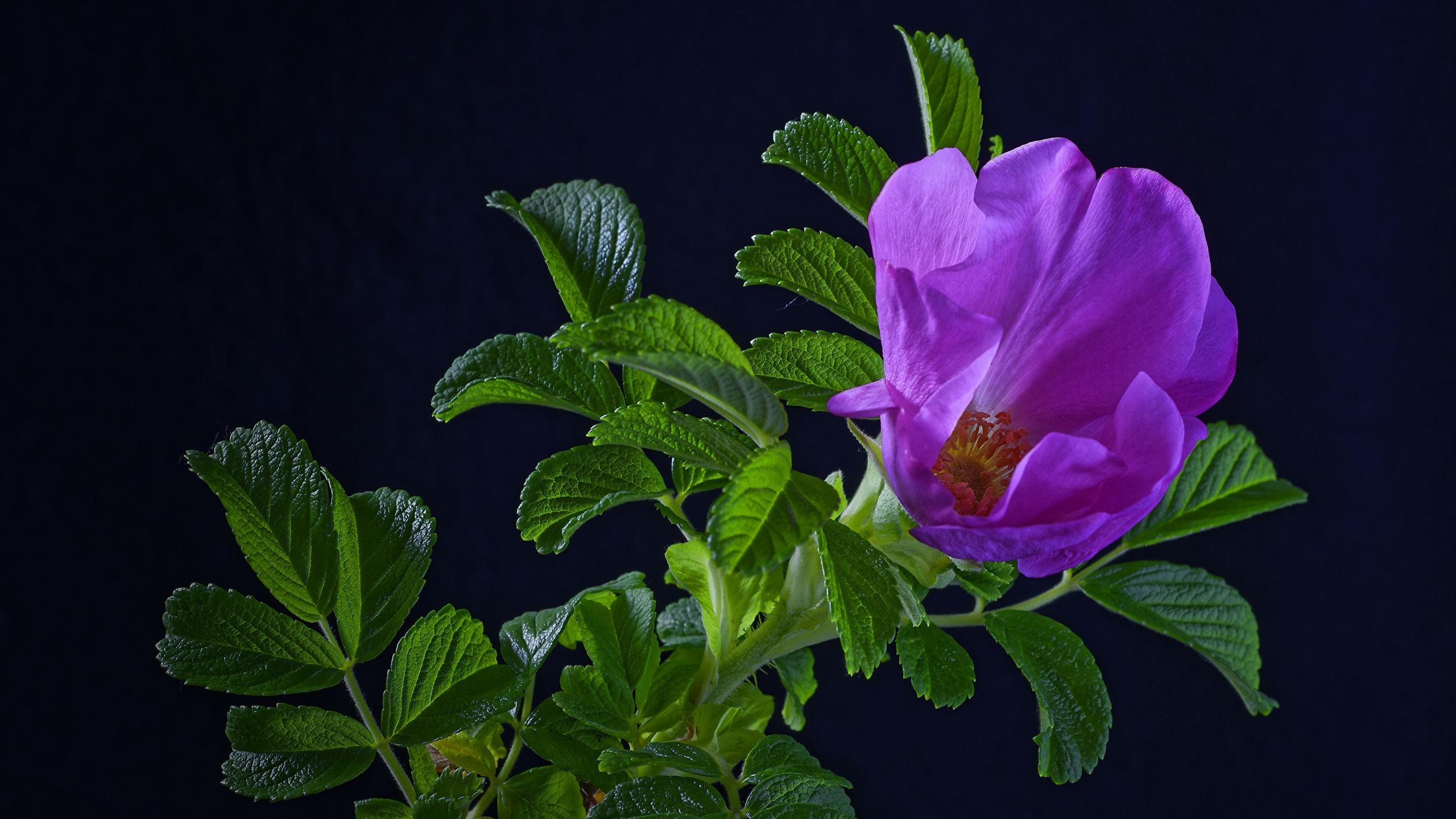 Обои для рабочего стола Листья роза фиолетовых цветок ветка Черный фон 2560x1440 лист Листва Розы Фиолетовый фиолетовая фиолетовые Цветы ветвь Ветки на ветке на черном фоне