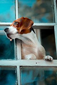 Картинки Собаки Бигль Окно