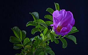 Обои Роза Черный фон Ветка Фиолетовых Листья цветок