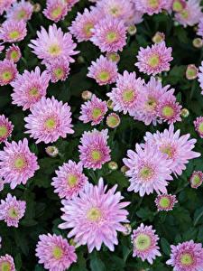 Фото Хризантемы Много Розовый цветок