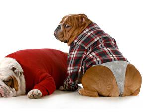 Картинки Собаки Одежда Два Бульдога Униформе Униформа Трусах Животное Животные Юмор