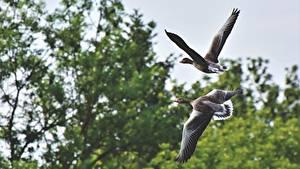 Фотографии Птицы Гуси Два Летят животное