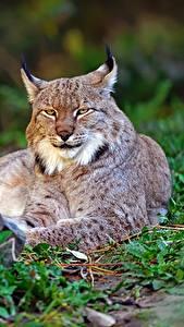 Фотографии Рыси Смотрит Животные