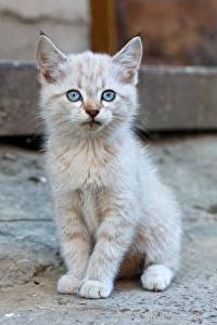 Картинки Коты Котята Сидит Смотрит животное