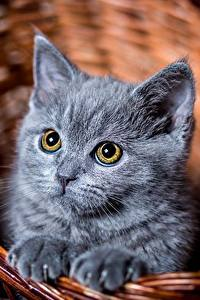 Картинки Кошка Котят Серые Взгляд Корзина Животные