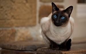 Обои Кошки Смотрит Размытый фон Jack Russell, Thai