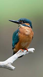 Фотография Обыкновенный зимородок Птицы Ветки животное