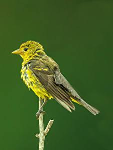 Картинки Птицы Ветки Western Tanager, female животное