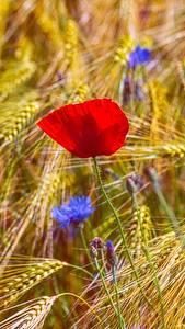 Обои Мак Поля Колосок Цветы