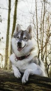 Фотографии Собаки Хаски Красивые Животные