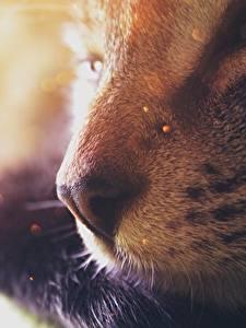 Картинки Коты Крупным планом Носа Размытый фон Животные
