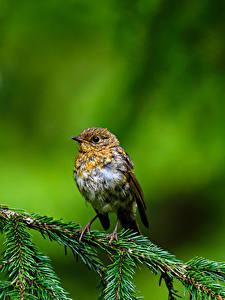 Обои Птица Ветвь Боке Robin, True thrush животное