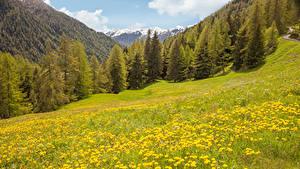 Фотография Италия Гора Лес Одуванчики Луга Tirol Природа