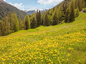 Фотография Италия Гора Лес Одуванчики Луга Tirol