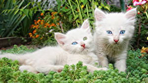 Фото Кошки Котенок Двое Белых Животные