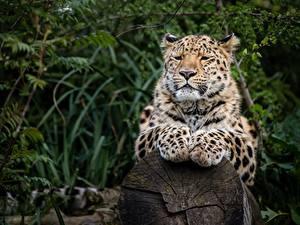 Обои Леопард Лап Смотрит Боке животное