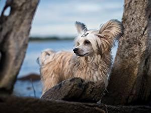 Обои Собаки Китайская хохлатая Белый