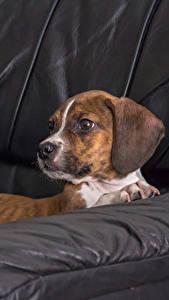 Фотография Собака Диване Бигля животное