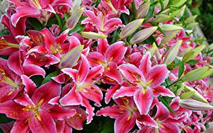 Фотография Лилия Крупным планом Розовая Цветы