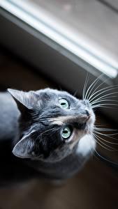Обои Кошки Взгляд Серый Усы Вибриссы животное