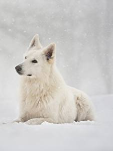 Картинка Собаки Белый Овчарка Снег Berger Blanc Suisse Животные