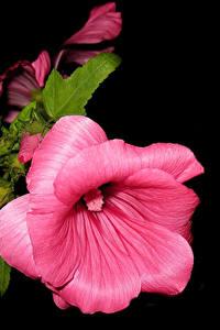 Картинки Мальва Вблизи На черном фоне Розовый Бутон Цветы