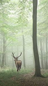 Фотография Лес Олени Дерева Туман Природа Животные
