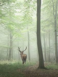 Фотография Лес Олени Дерева Туман Животные