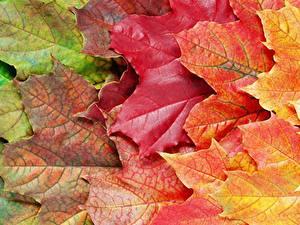 Фото Вблизи Осенние Листва Клёна Природа