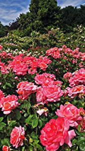 Картинка Англия Сады Розы Много Лондон Кусты Розовый Regents Park Queens Garden