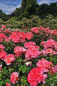Картинка Англия Сады Розы Много Лондон Кусты Розовых Regents Park Queens Garden Цветы