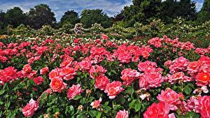 Картинка Англия Сады Розы Много Лондон Кусты Розовый Regents Park Queens Garden Цветы