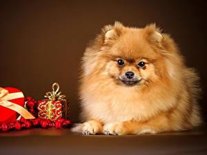 Фотография Собаки Праздники День святого Валентина Цветной фон Шпицев Сердца Подарки Животные