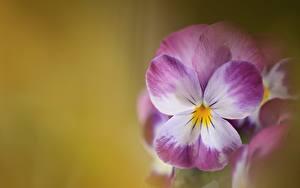 Фотография Вблизи Анютины глазки Цветы