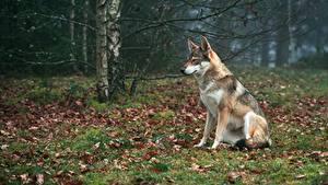 Картинка Волк Трава Лист Сидящие Животные