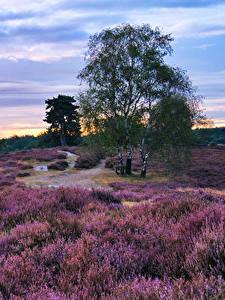 Фотографии Лаванда Германия Парк Рассвет и закат Небо Дерево Westruper Heide Природа