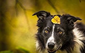 Обои Собака Листья Морда Бордер-колли