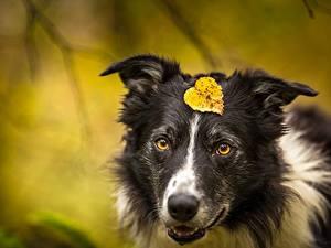 Обои для рабочего стола Собака Листья Морда Бордер-колли животное