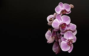 Фотографии Орхидея Розовая Черный фон Цветы