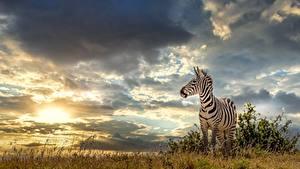 Картинки Небо Зебра Туч Траве животное Природа