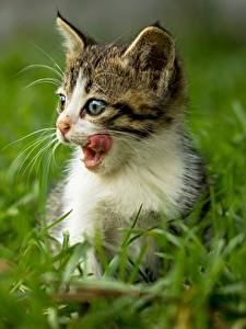 Картинки Коты Котенок Языком Траве