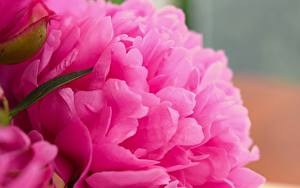 Фото Крупным планом Макро Пионы Розовые Цветы