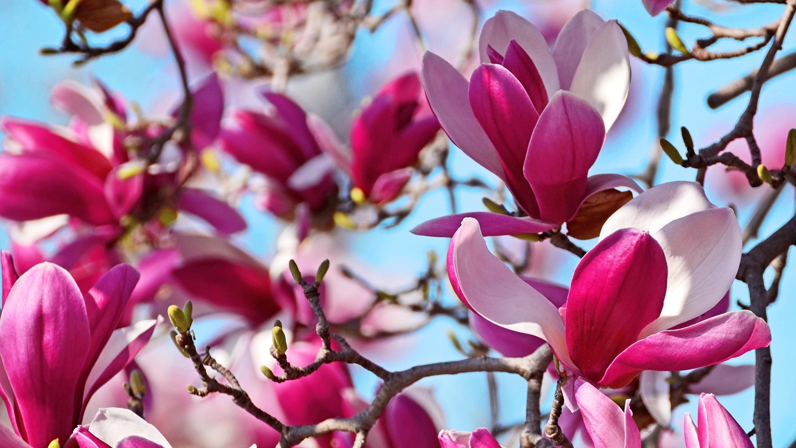 Обои магнолия. Цветы foto 16